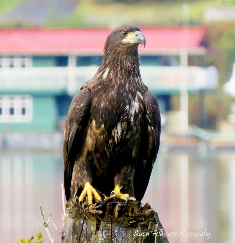 eagle tahsis